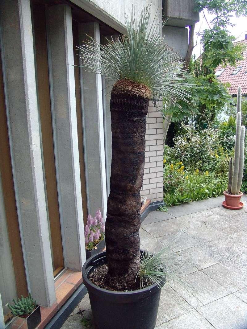 Grasbaumgewächse (Xanthorrhoeaceae) Dsc00011