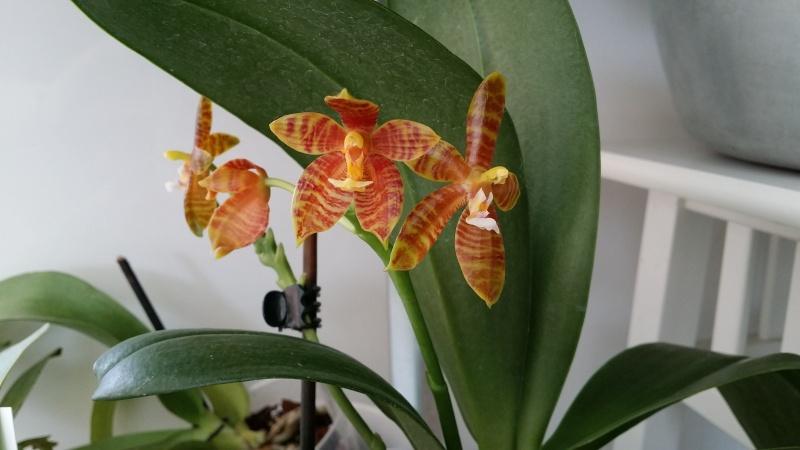 phalaenopsis venosa x cornu cervi 20150616