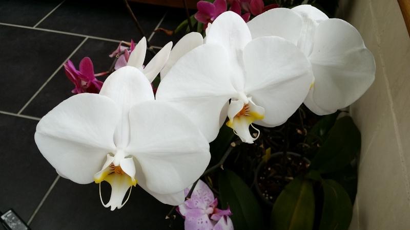 phalaenopsis blanc a fleurs enooooooooormes - Page 3 20150621