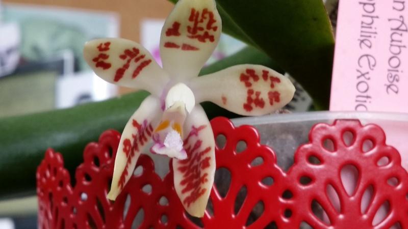phalaenopsis corningiana 20150628