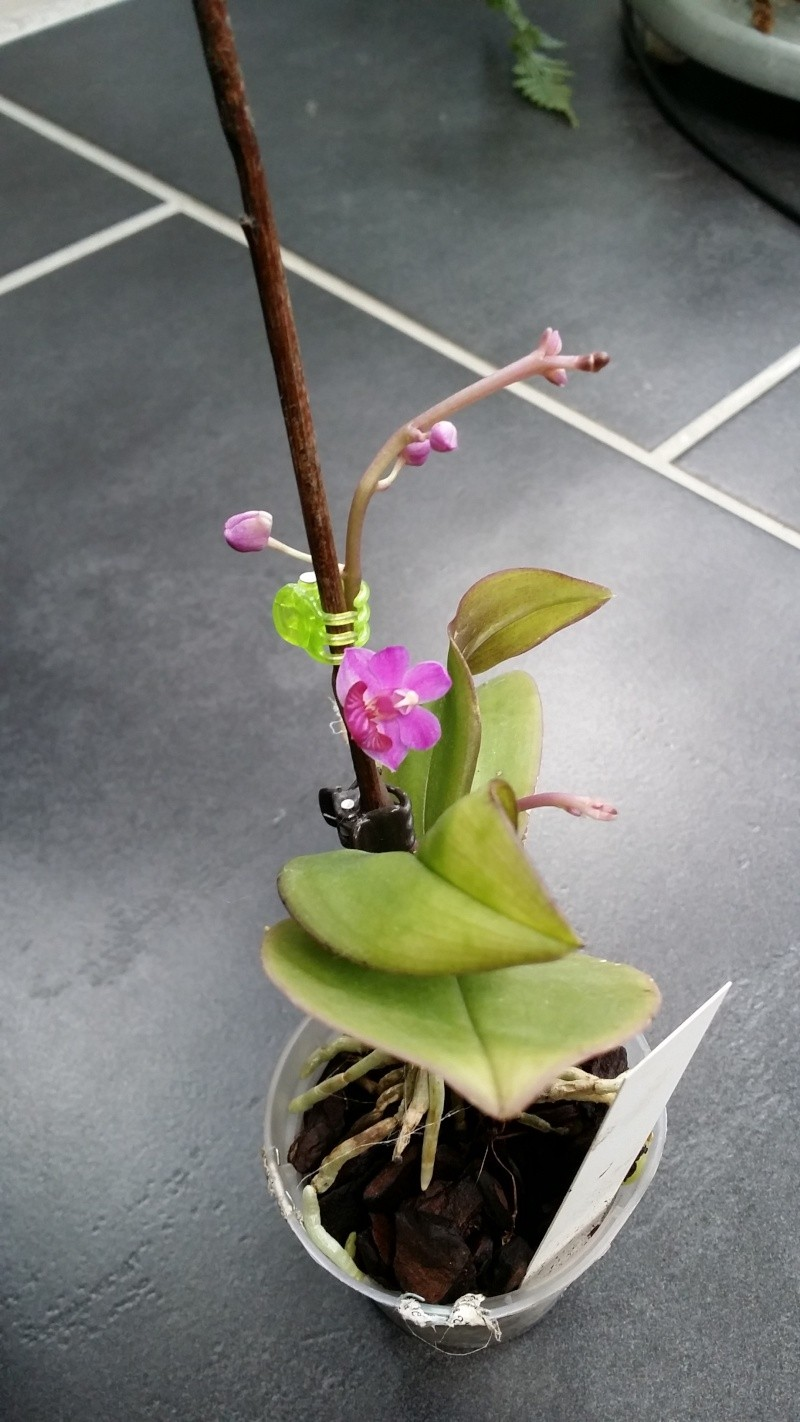 phalaenopsis san shia appendo blue - Page 2 20150635