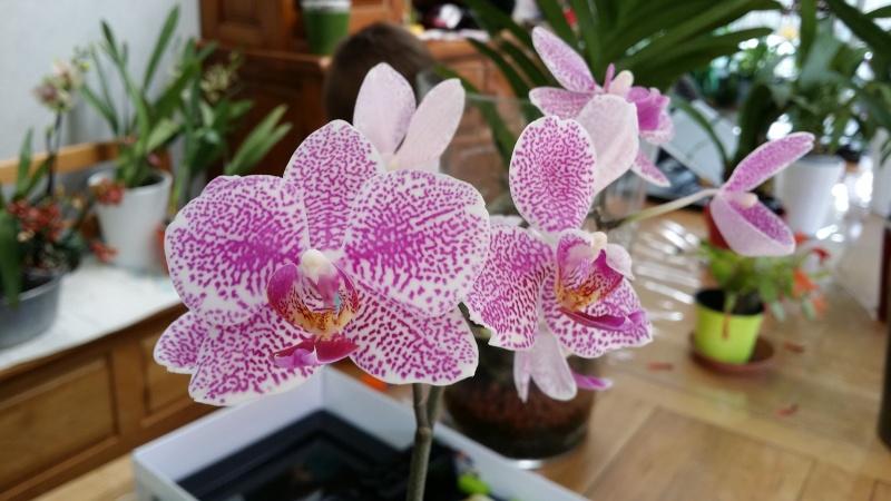 phalaenopsis I-Hsin Golden Prince 20150644