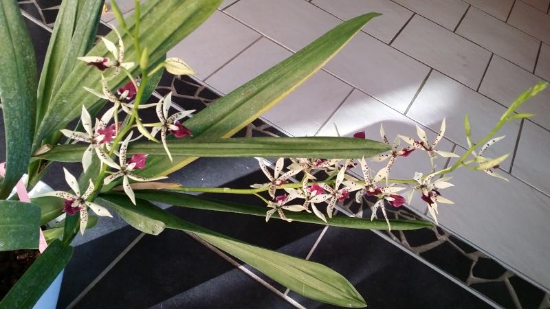 encyclia prismatocarpa x cochleata 20150716