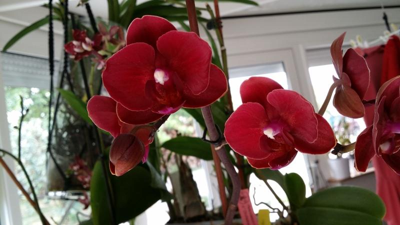 phalaenopsis bordeaux 20150719