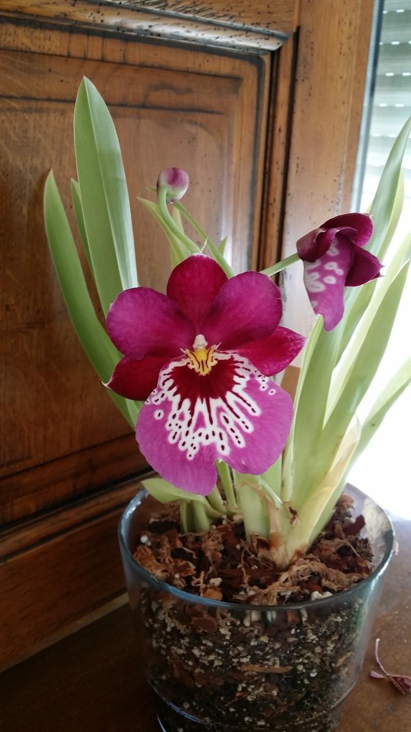 miltonia en fleur  20150723