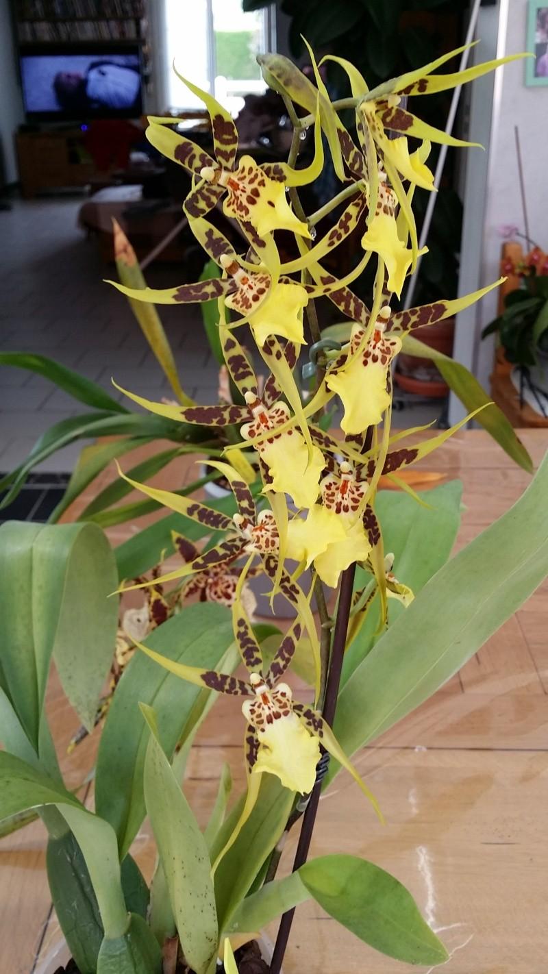 brassia hybride 20150733