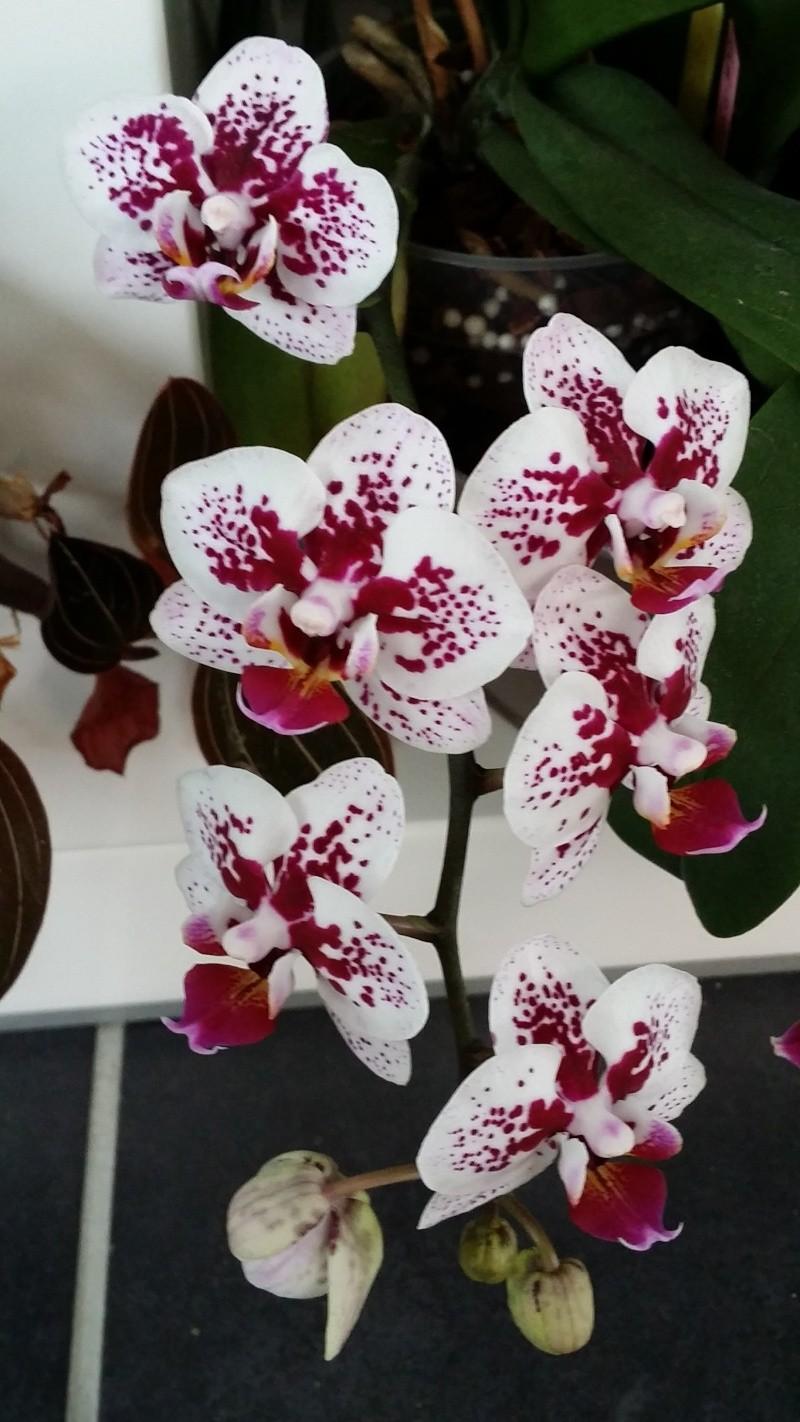 phalaenopsis hybride 20150739