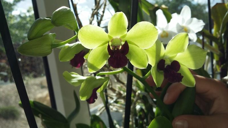 dendrobium phalaenopsis anna green 20150810