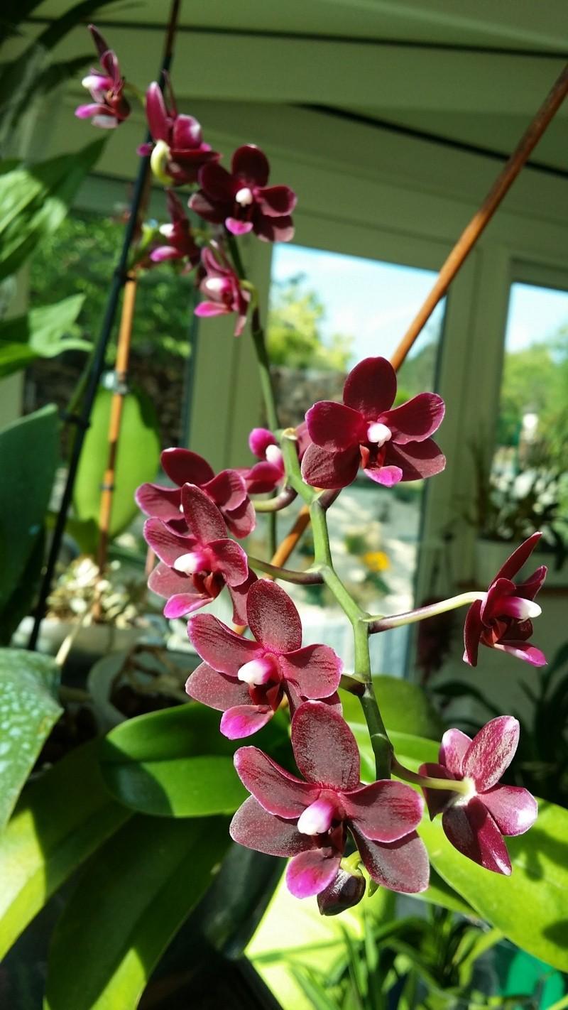 flos de phalaenopsis 20150820