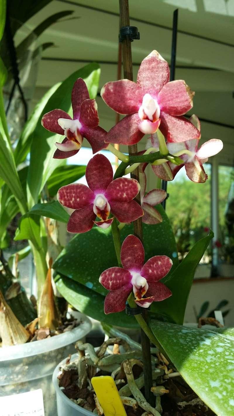 flos de phalaenopsis 20150821