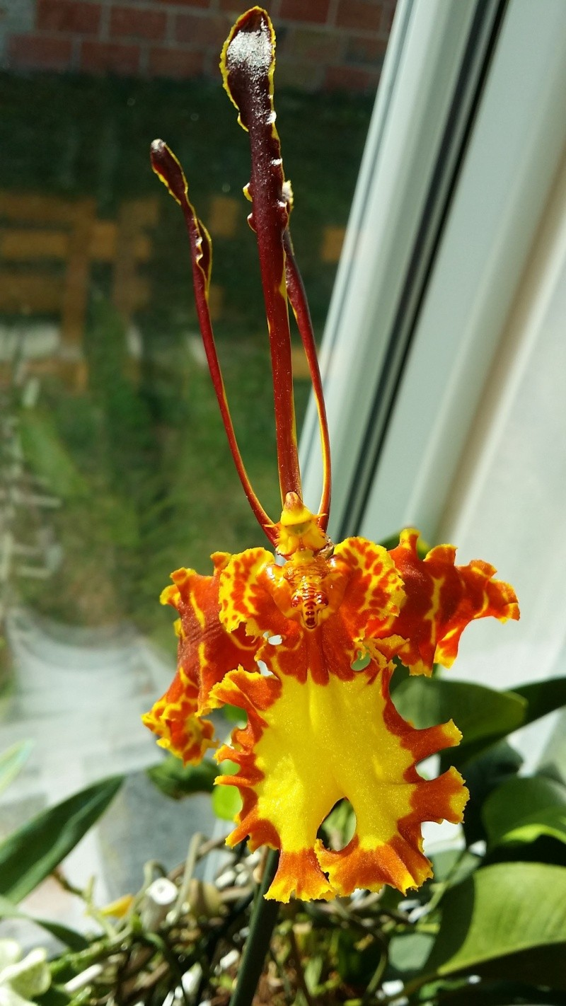psychopsis mariposa 20150823