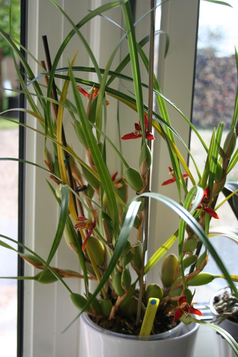 maxillaria tenuifolia Img_1810