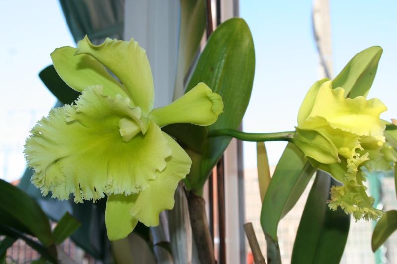 cattleya jaune vert a grosses fleurs  Img_2012