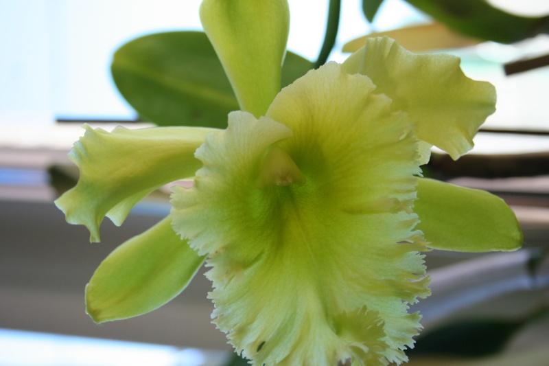 cattleya jaune vert a grosses fleurs  Img_2013