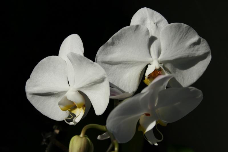 phalaenopsis blanc a fleurs enooooooooormes - Page 3 Img_2022