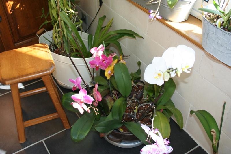 phalaenopsis blanc a fleurs enooooooooormes - Page 3 Img_2023