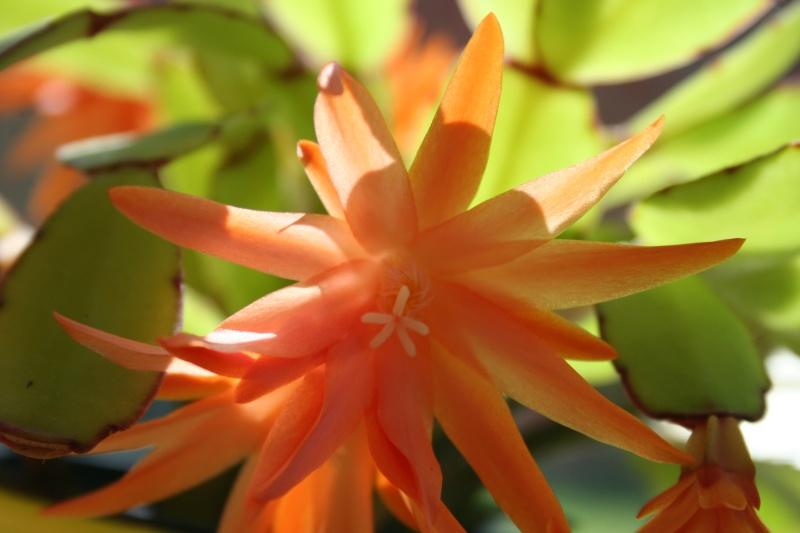 cactus de paques Img_2026
