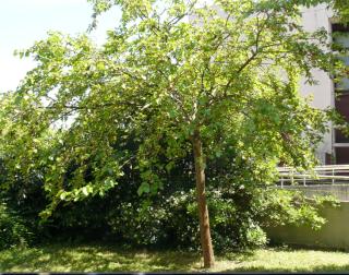 Morus nigra - mûrier noir Myrier10