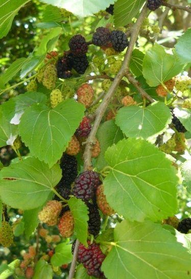 Morus nigra - mûrier noir Myrier11