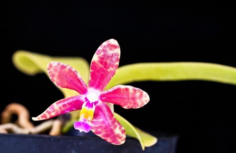 Phalaenopsis fasciata x pulchra? Phalae11