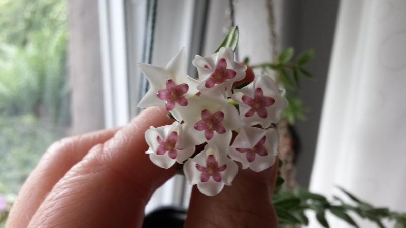 Endlich..meine Lieblinge blühen..Hoya bella..1. 00810