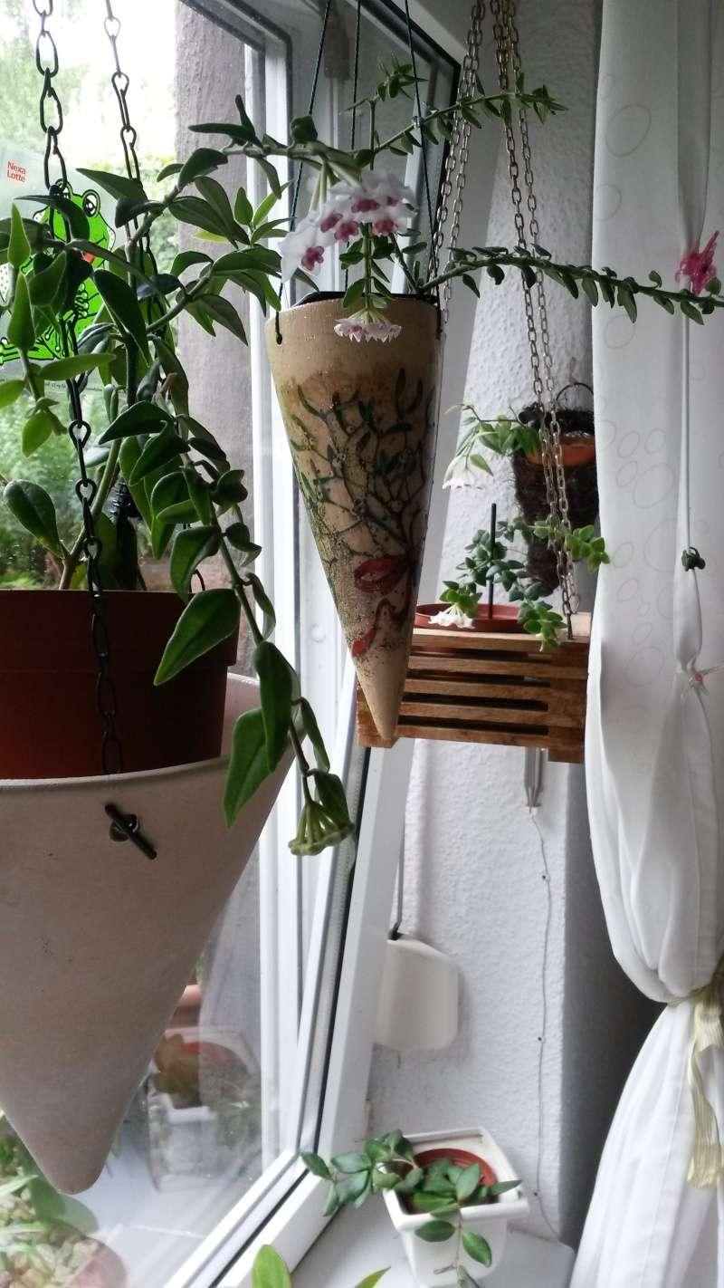 Endlich..meine Lieblinge blühen..Hoya bella..1. Bilder13