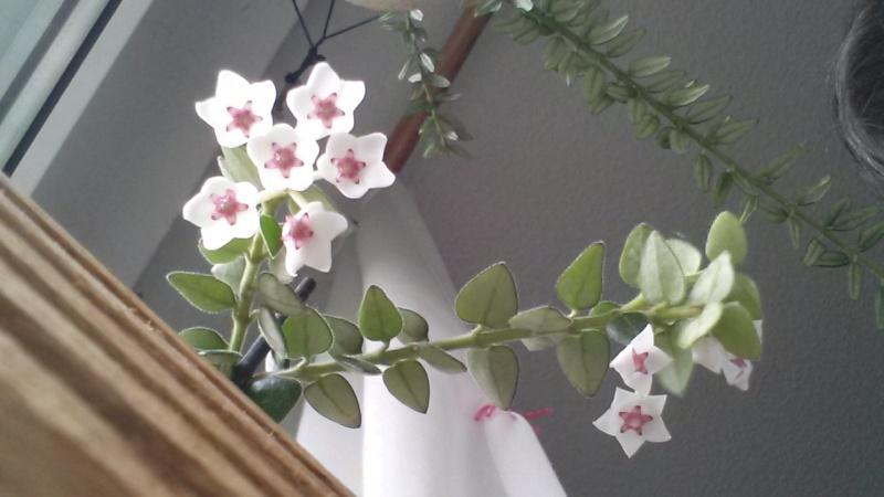 Endlich..meine Lieblinge blühen..Hoya bella..1. Bilder15