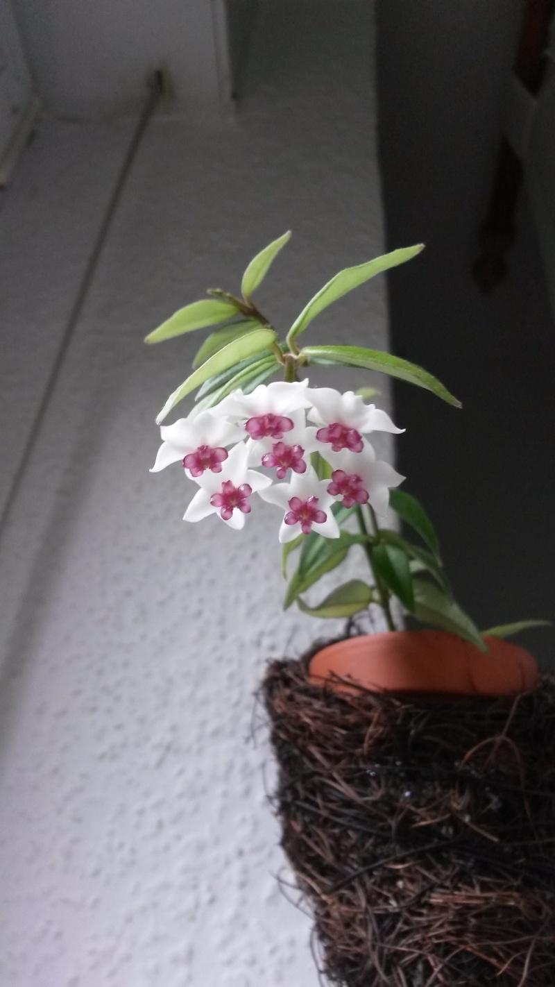 Endlich..meine Lieblinge blühen..Hoya bella..1. Bilder18