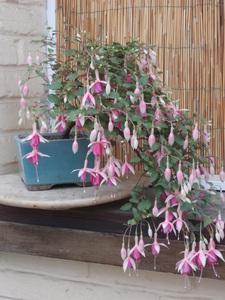 bonsaï fuchsia  - Page 3 30juil12