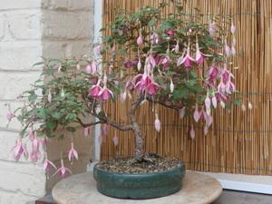 bonsaï fuchsia  - Page 3 30juil13