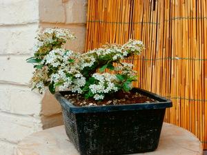 mes bonsaïs - Page 8 3juin210
