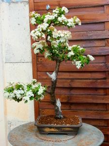 mes bonsaïs - Page 8 3juin211
