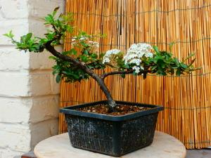 mes bonsaïs - Page 8 3juin212