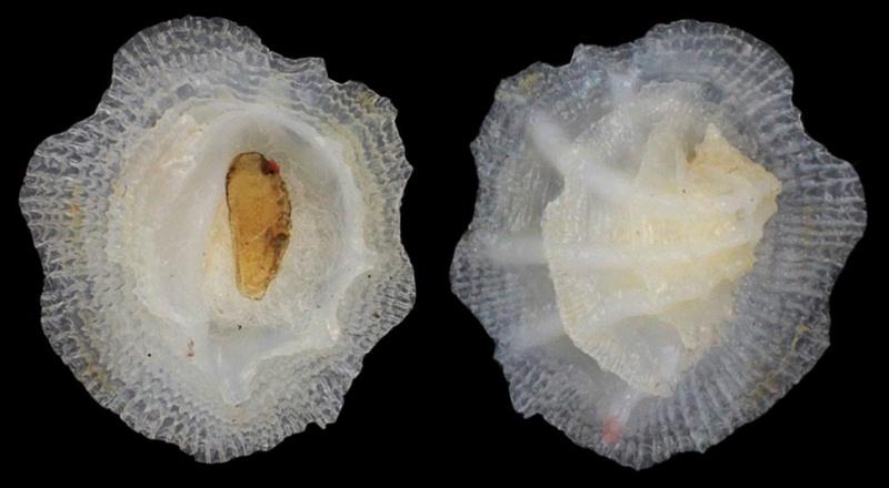 Coralliophila fimbriata - (A. Adams, 1854) C-fimb10