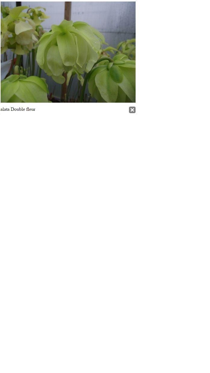 Sarracenia alata 'double flower' et alata normal Alata10