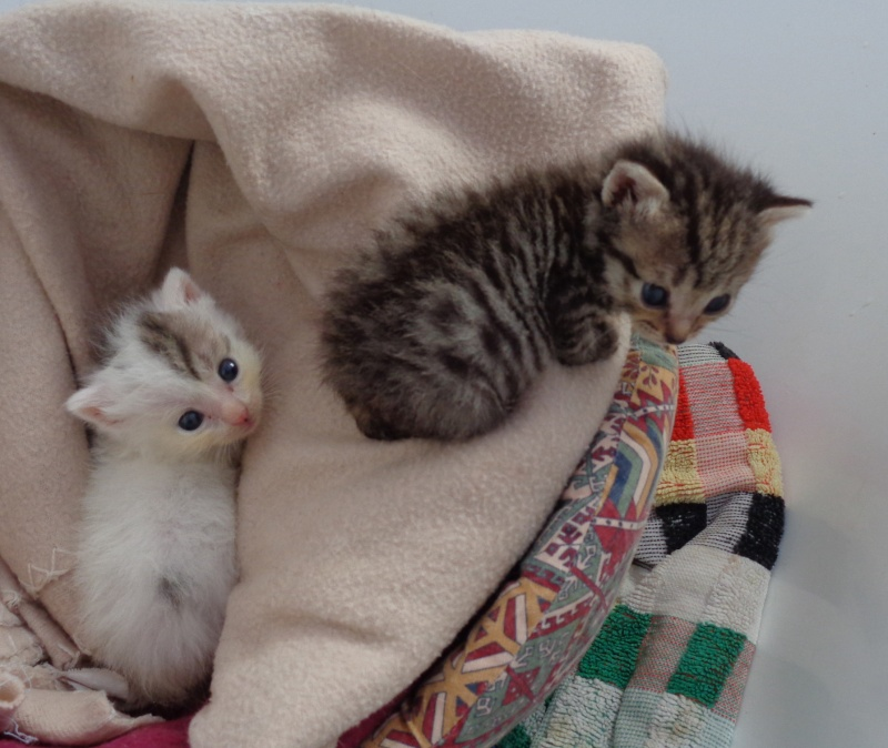 petits chatons en famille d'acceuil. Chaton10