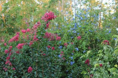 massifs en bleu - fleurs bleues et belles associations - Page 2 Jardin11