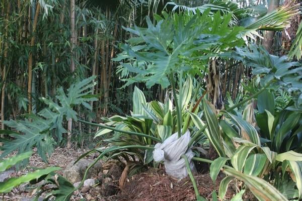 Philodendron bipinnatifidum - selloum - Page 2 Philo_10
