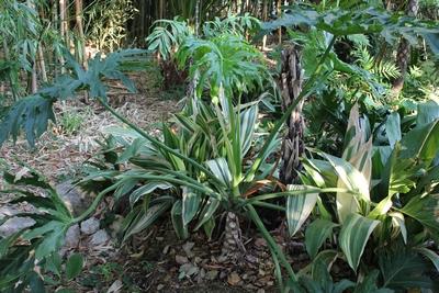 Philodendron bipinnatifidum - selloum - Page 2 Philo_11