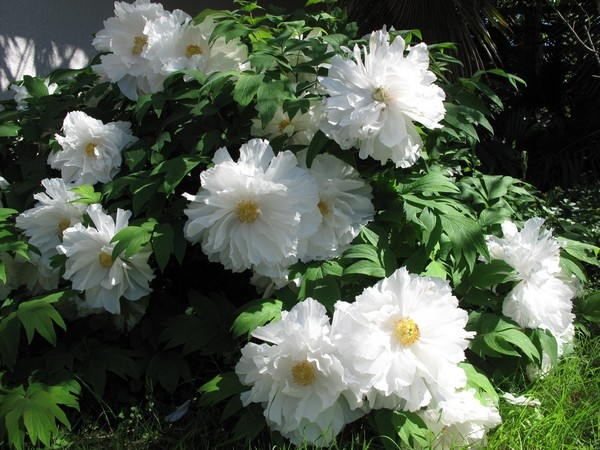massifs en blanc - fleurs et feuillages : belles associations  Pivoin11