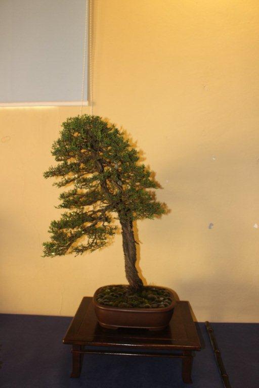 Mostra bonsai e suiseki a Roma. Img_6310