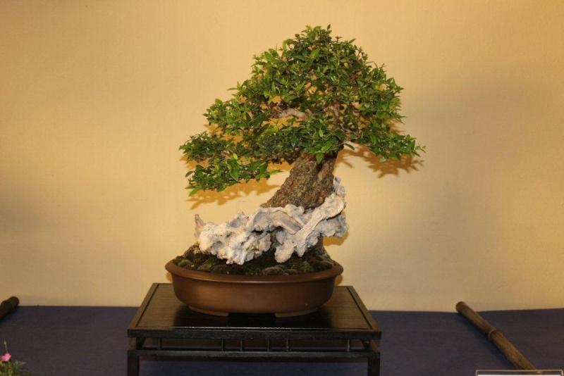 Mostra bonsai e suiseki a Roma. Img_6311