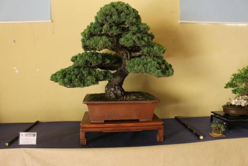 Mostra bonsai e suiseki a Roma. Img_6312