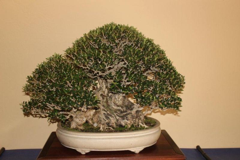 Mostra bonsai e suiseki a Roma. Img_6319