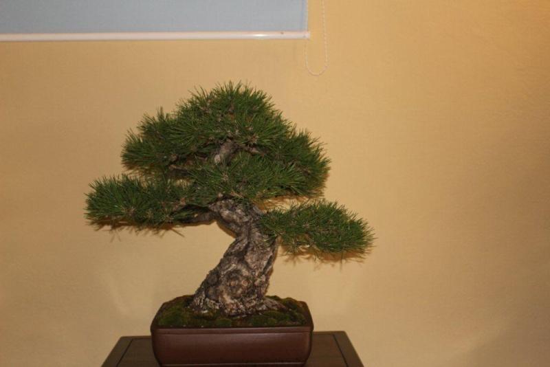 Mostra bonsai e suiseki a Roma. Img_6320