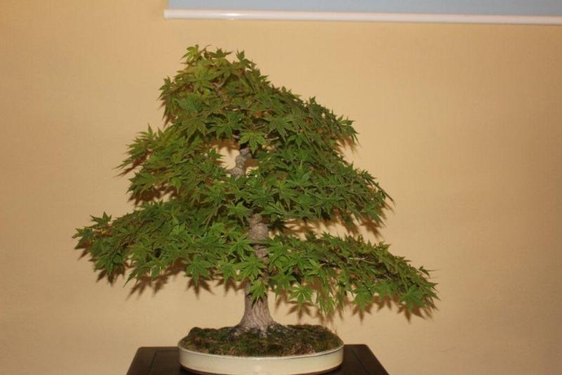 Mostra bonsai e suiseki a Roma. Img_6322