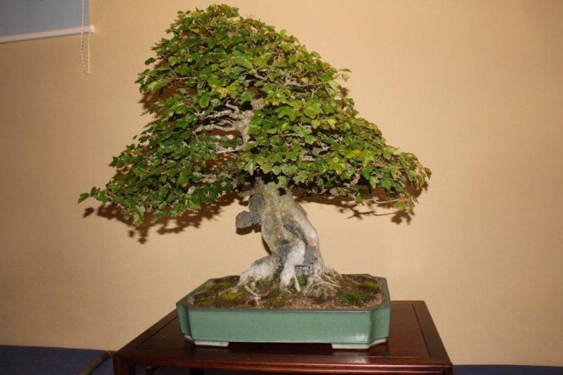 Mostra bonsai e suiseki a Roma. Img_6327