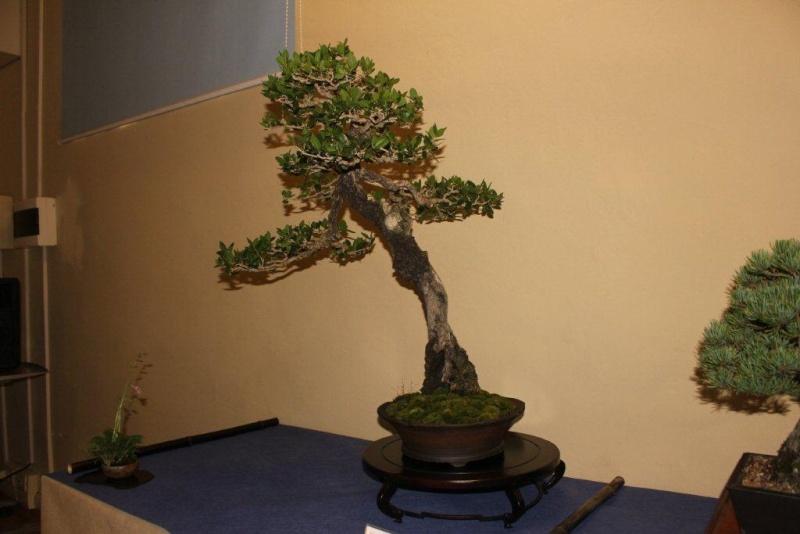 Mostra bonsai e suiseki a Roma. Img_6330