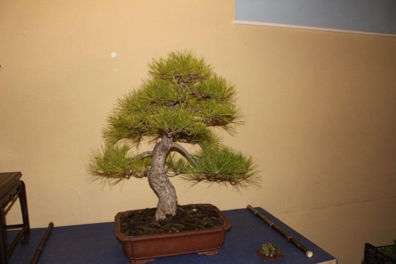Mostra bonsai e suiseki a Roma. Img_6331