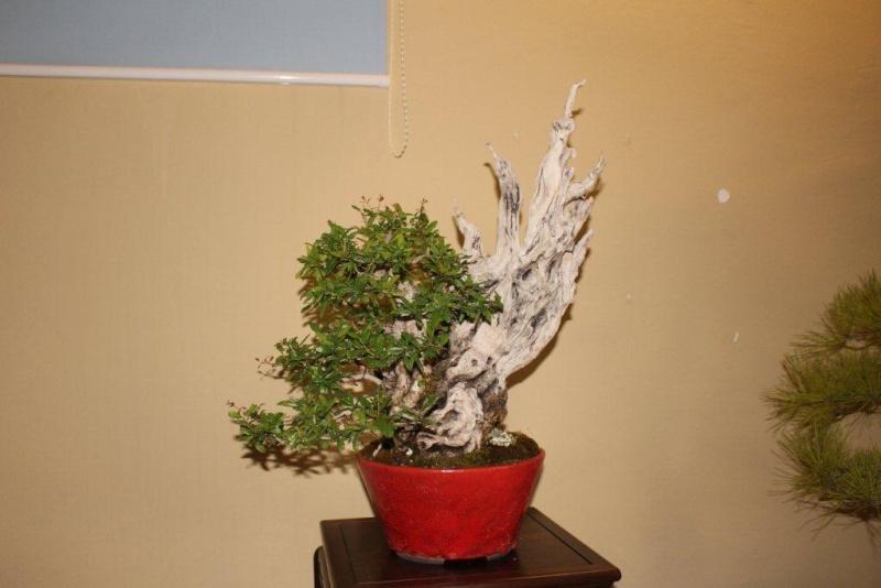 Mostra bonsai e suiseki a Roma. Img_6332